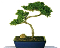 Buy Bonsai Trees from Bonsai Boy of New York